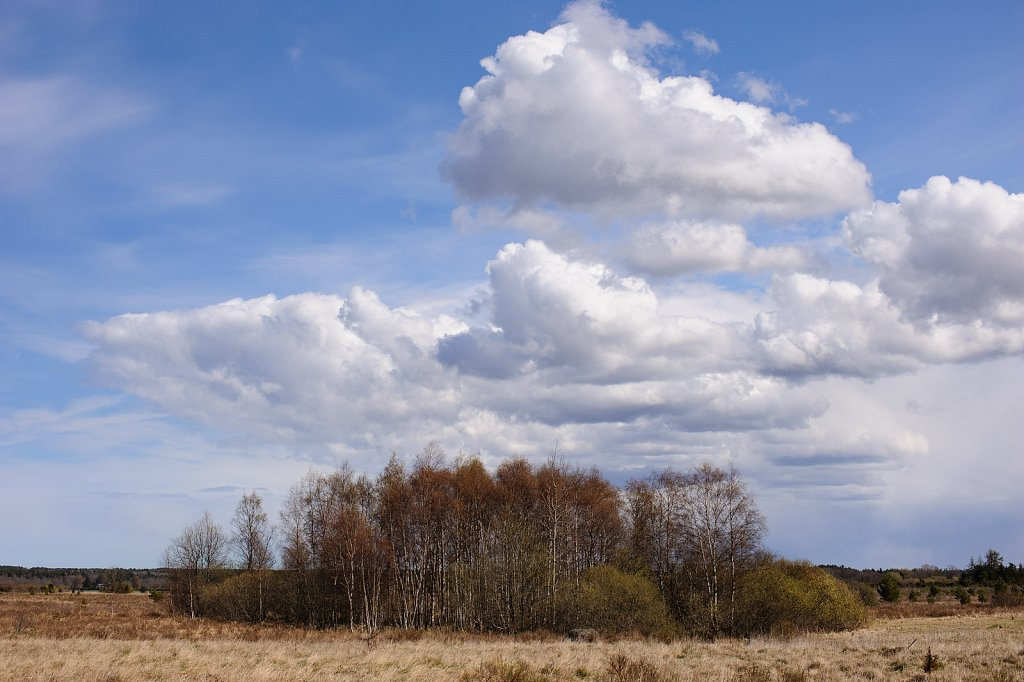 Small copse of birches